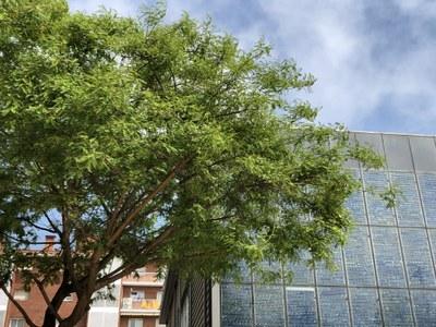 Arbre davant la façana de la Biblioteca Pompeu Fabra. Foto: Ajuntament